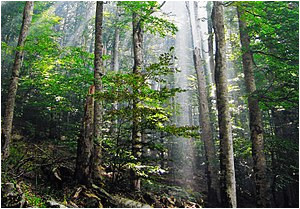 old growth forest wikipedia