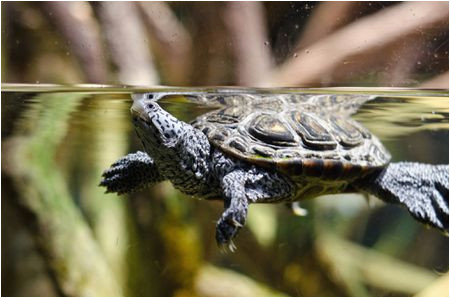 a guide to caring for diamondback terrapins as pets