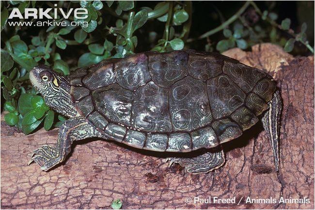 texas map turtle tortoise diet sulcata map turtle turtle tortoises