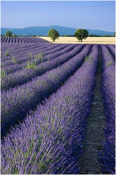 21 best lavender fields france images in 2016 provence