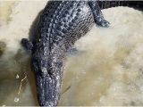 Alligators In Texas Map Annie Miller S son S Swamp and Marsh tours Houma 2019 All You