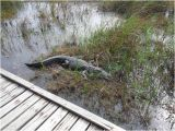 Alligators In Texas Map Close Encounter with A Texas Gator Picture Of Sea Rim State Park