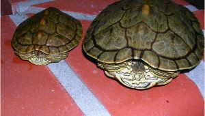 Baby Texas Map Turtle for Sale Texas Map Turtle Care Business Ideas 2013
