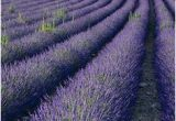 Lavender Fields France Map 21 Best Lavender Fields France Images In 2016 Provence
