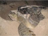 Male Texas Map Turtle for Sale Sea Turtles Of the Gulf Of Mexico Springerlink