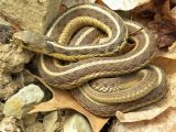 Poisonous Snakes In Ohio Map Common Garter Snake Wikipedia