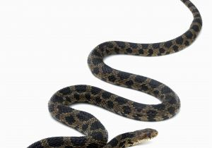 Poisonous Snakes In Ohio Map Eastern Foxsnake