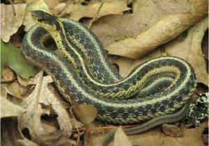 Poisonous Snakes In Ohio Map Tell Us Snakes In the House the Old Farmer S Almanac