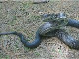 Poisonous Snakes In Ohio Map Temperate Deciduous forest