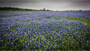 Texas Bluebonnet Trail Map where to See the Bluebonnets Bloom In Texas